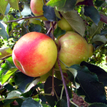 pick-apples-apple-tree