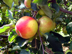 Fresh Pre-Picked NC Apples