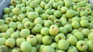Picking Golden Delicious and Jonagold Apples