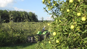 Beautiful Golden Delicious Apples ready to be picked.