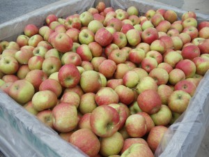 Fresh Picked Honey Crisp Apples