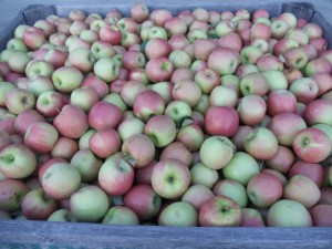 Picking Pink Lady Apples Saturday