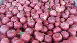 Fresh Picked Red Rome Apples