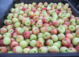 Fresh Picked Jonagold Apples
