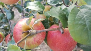 2018 Apple Season Begins Saturday, August 25
