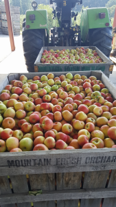 honey crisp apples